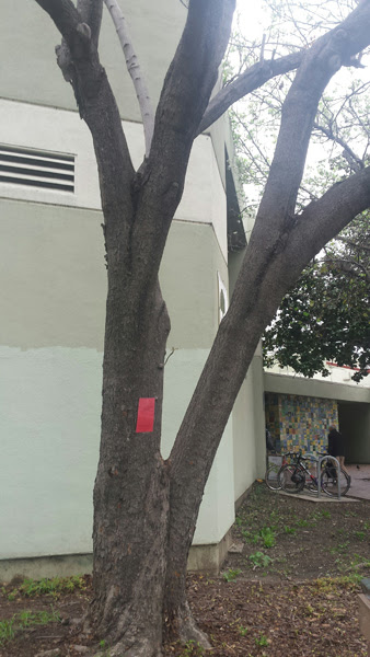1-koelreuteria_paniculata_tree-dead.jpg
