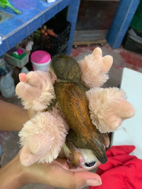 Top view of baby squirrel monkey on stuffed animal