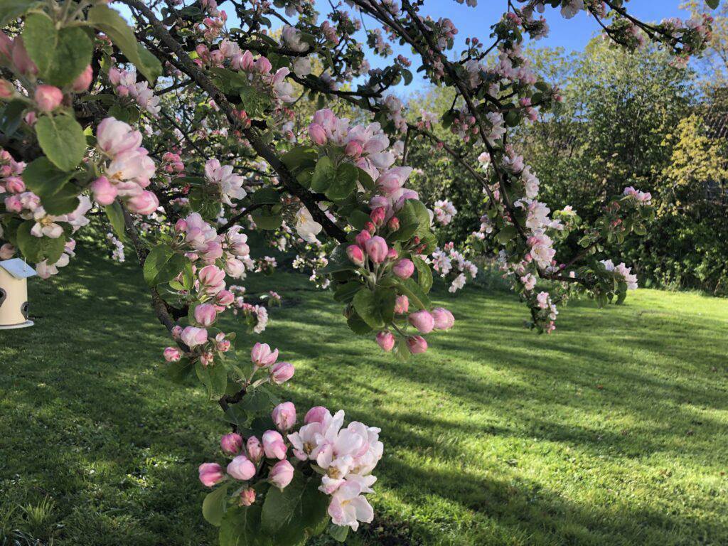 En kort stund av njutning lugnar sinnet. Äppelträdet i full blom där bin och humlor surrar.