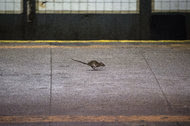 A New York City rat running along a subway platform. Rattus norvegicus, otherwise known as the brown rat, remains surprisingly mysterious.