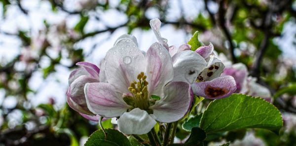 A closeup of a pinkish-white apple blossom