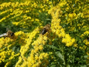 Goldenrod bees