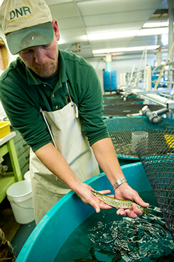 DNR employee hold a muskellunge fingerling
