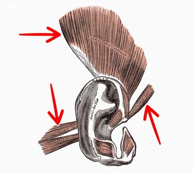 Cơ tai ngoài,cơ thể con người,sự tiến hóa