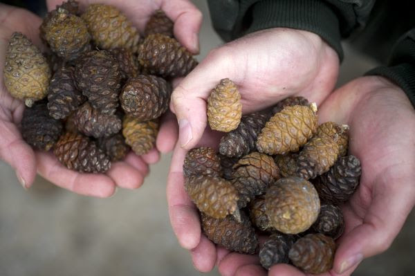 People hold small pinecones in their cupped hands