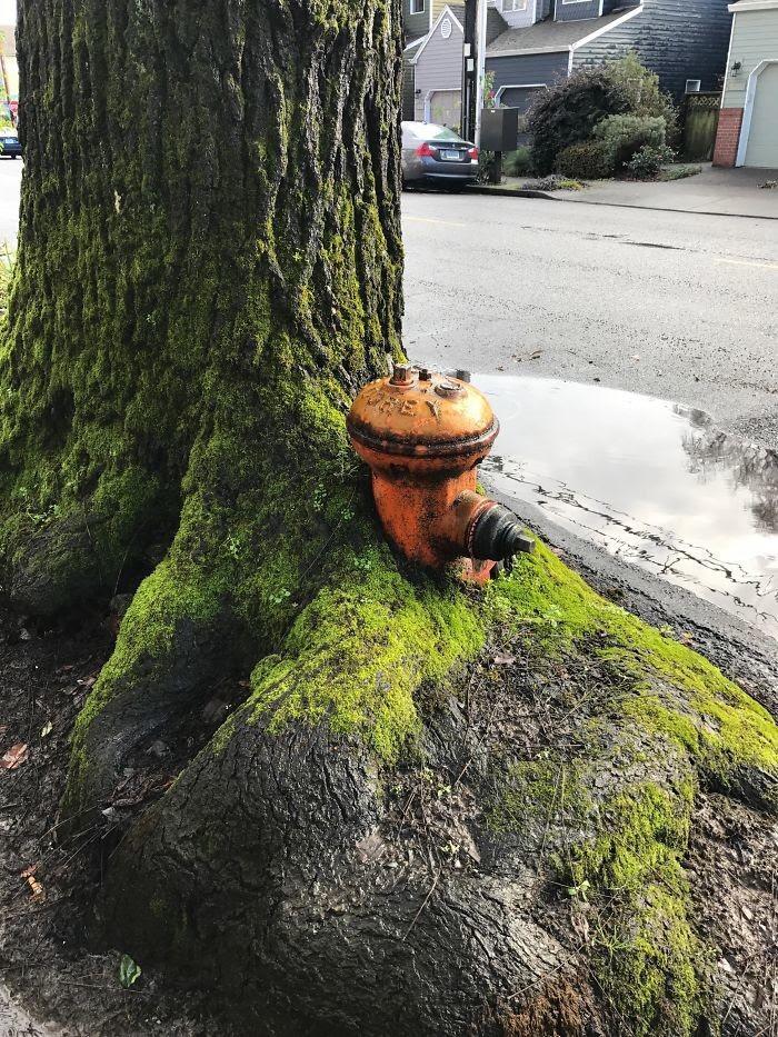 Поглотило гидрант дерево, живучесть, жизнь, мир, планета, растительность, фото