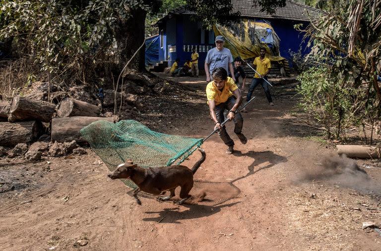 En Goa, alrededor del 40 por ciento de los perros vagabundos son demasiado nerviosos para ser manejado fácilmente.