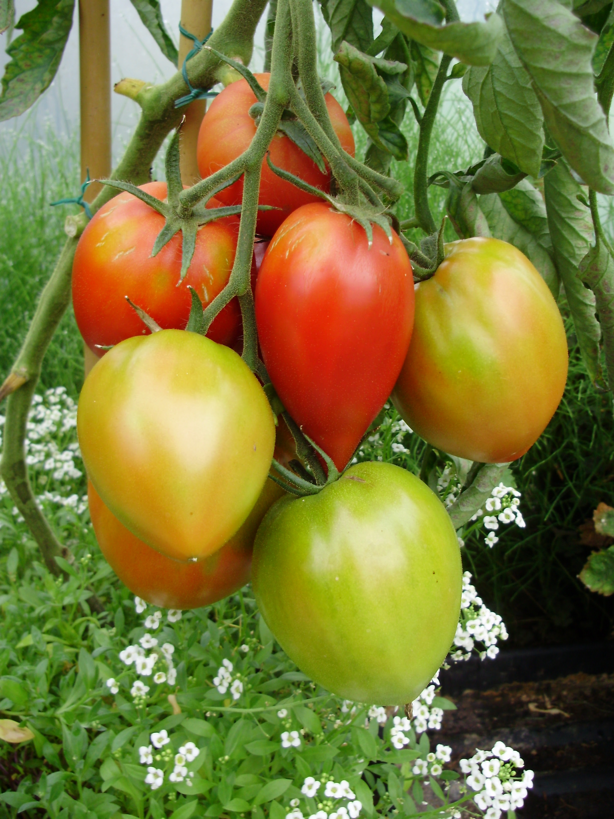 frye shoes groundhogs eat tomatoes with blight