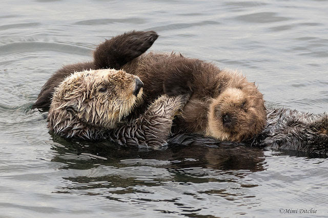 Sea otter with               pup at Morro Bay in California