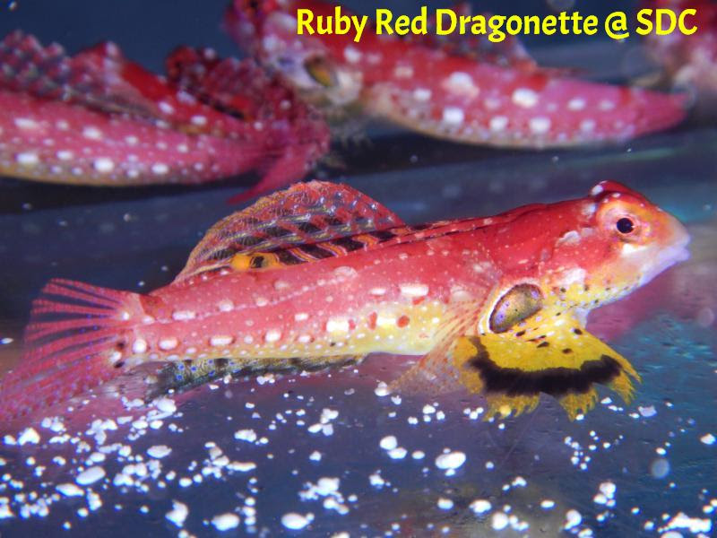 ruby red dragonette HD