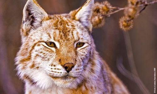Que fait le WWF pour le lynx