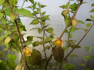 Cape gooseberries (Physalis Peruviana) in October