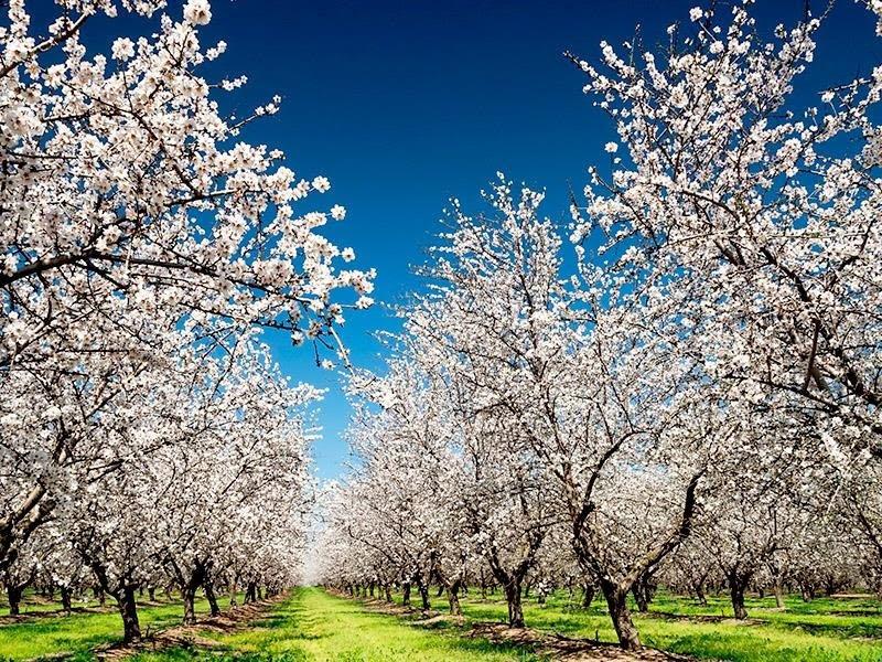 Datça er klar til å arrangere sin årlige Mandel Blossom Festival
