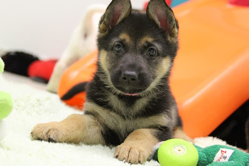 Small shepherd puppy rests in pile of toys.