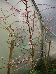 March  peach blossom on a young tree  in the polytunnel