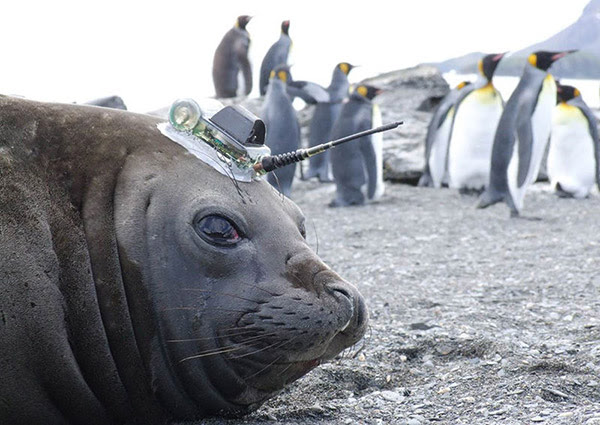 A seal with a sensor on its head looks at the camera whilst on a beach in Antarctica.