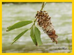 Bicho canasto (Oiketicus kirbyi) (AlexCortz) Tags: naturaleza nature flora panasonic worm gusano bicho insecto oiketicuskirbyi bichocanasto panasonicfz100