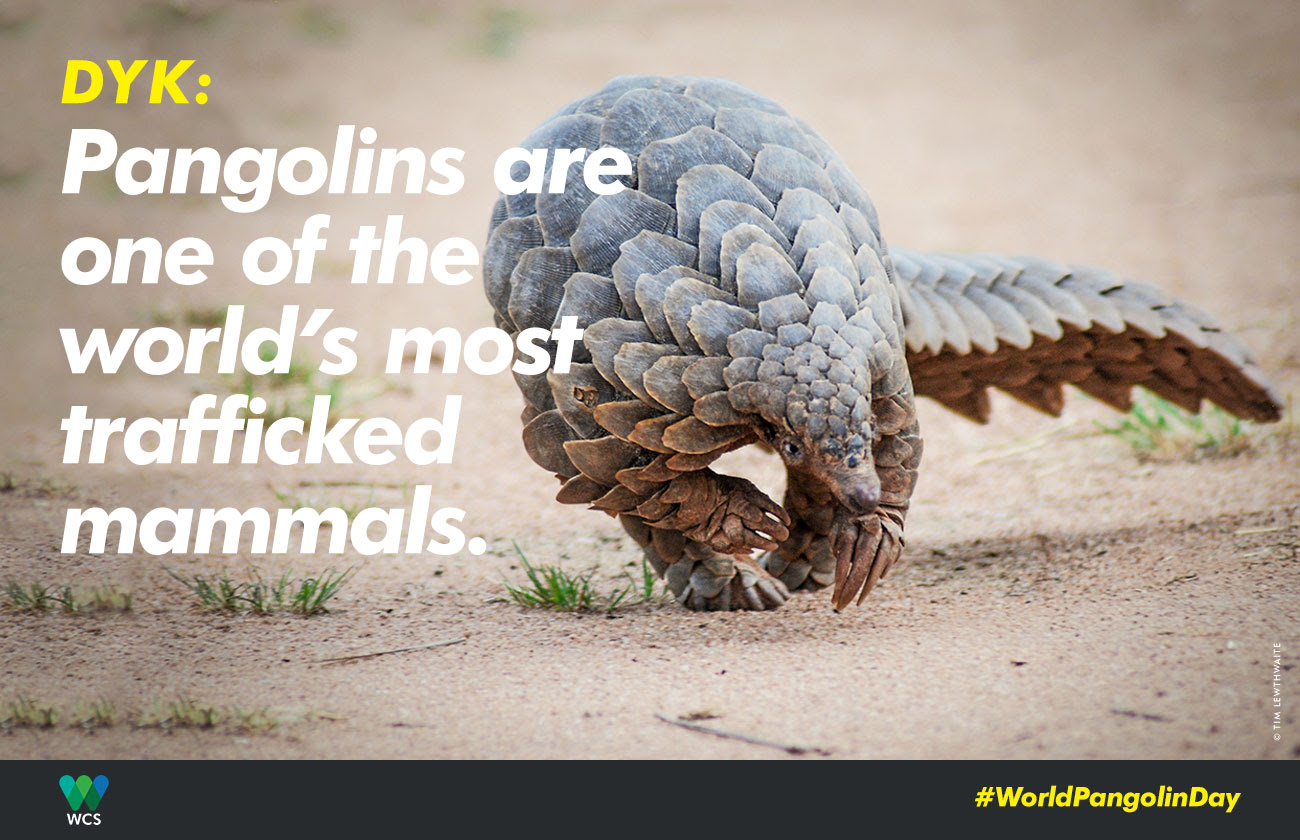 Pangolins are one of the world's most trafficked mammals.