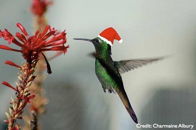 Christmas hummingbird. Photo by Charmaine Albury
