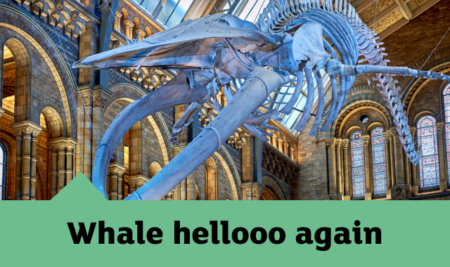 The blue whale skeleton in Hintze Hall