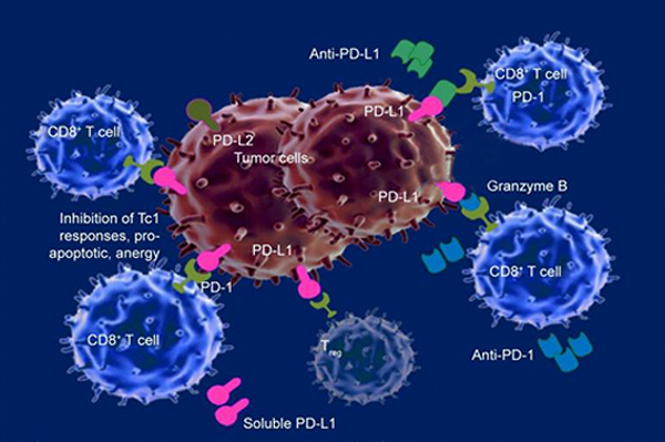 Several drugs that target immune checkpoint proteins like PD-1 and PD-L1 are approved to treat bladder cancer.