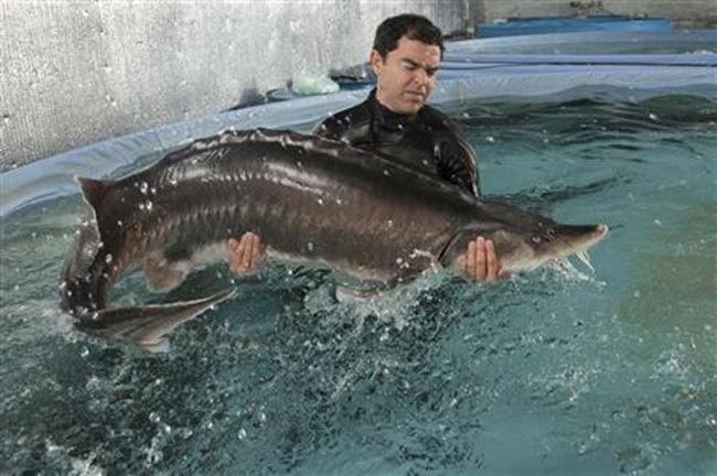 TheoMark Zaslavsky, cá tầm beluga lúc hơn 15 tuổi nặng tới 158kg và dài hơn 2,7m.