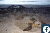 Sea Turtle Facebook