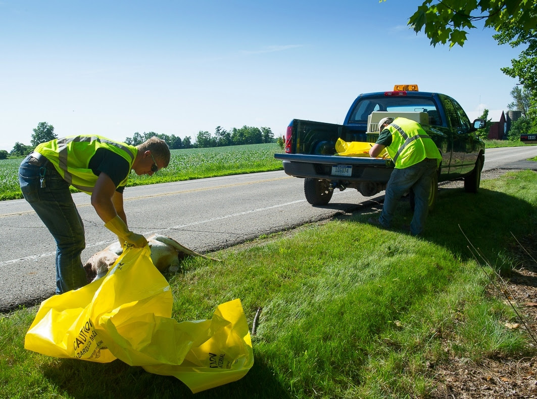 Michigan Department of Natural Resources workers pick up a road-killed deer for testing for chronic wasting disease.