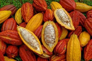 Cultivo de cacao involucra a aproximadamente 100 mil pequeños productores de la Agricultura Familiar