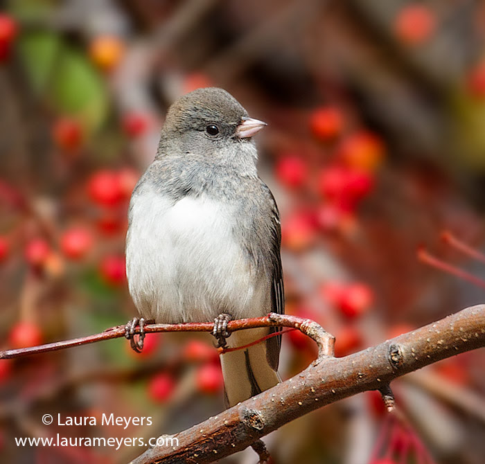 Dark-Eyed Junco © Laura Meyers