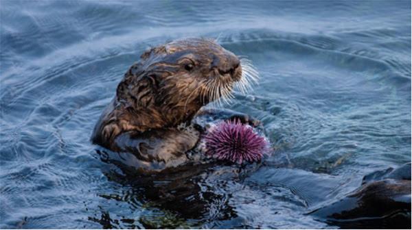 Выдра ест фиолетового морского ежа