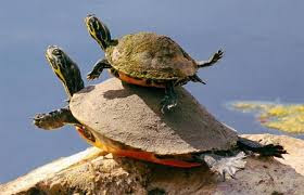 Kết quả hình ảnh cho hình ảnh rùa
