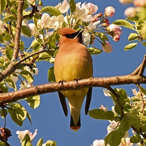 Cedar waxwing bird in a tree