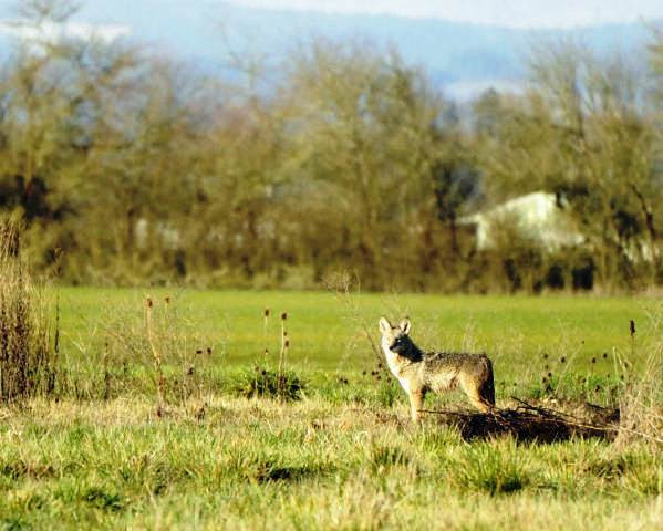 Litter size for coyotes in Michigan is between 4 and 7 pups. Coyotes are widely adaptable and are found in all 83 counties of the state. (USFWS photo)