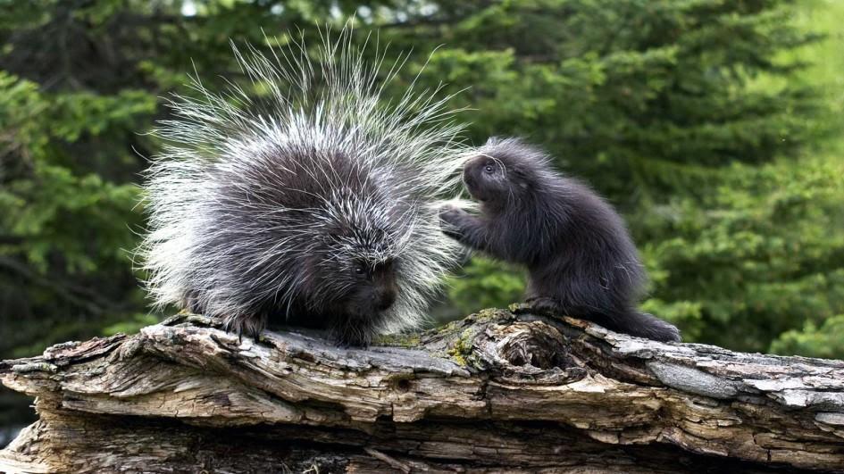 porcupine-mother-baby-log.jpg.adapt.945.1