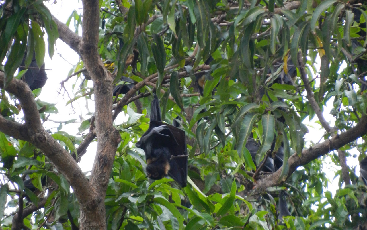Flying foxes hanging in a tree