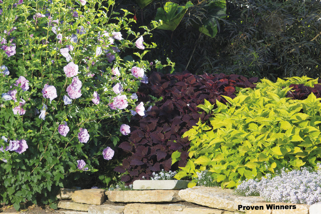 Rose of sharon with coleus