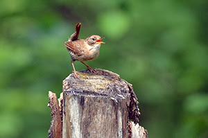 A winter wren photographed in Delta County is shown.