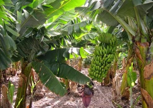 banano-organico 003