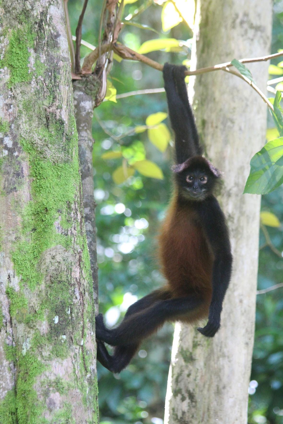 Wild male spider monkey
