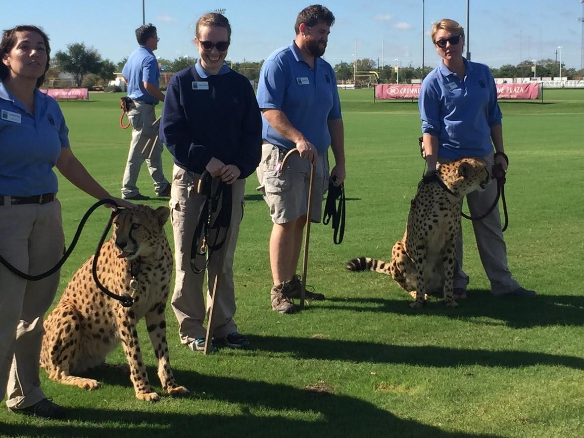 Exercising the cheetahs - Houston Zoo