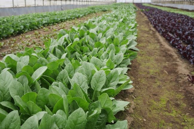 千葉県香取市の佐原農場で栽培しているオーガニックベビーリーフ