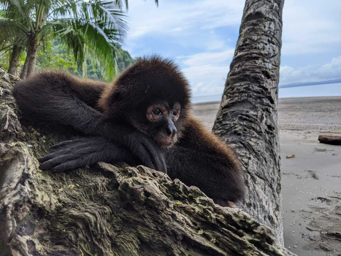 Spider monkey resting head on hands on tree on beach