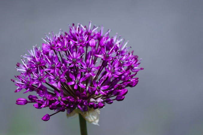 A close up of a purple flower  Description automatically generated