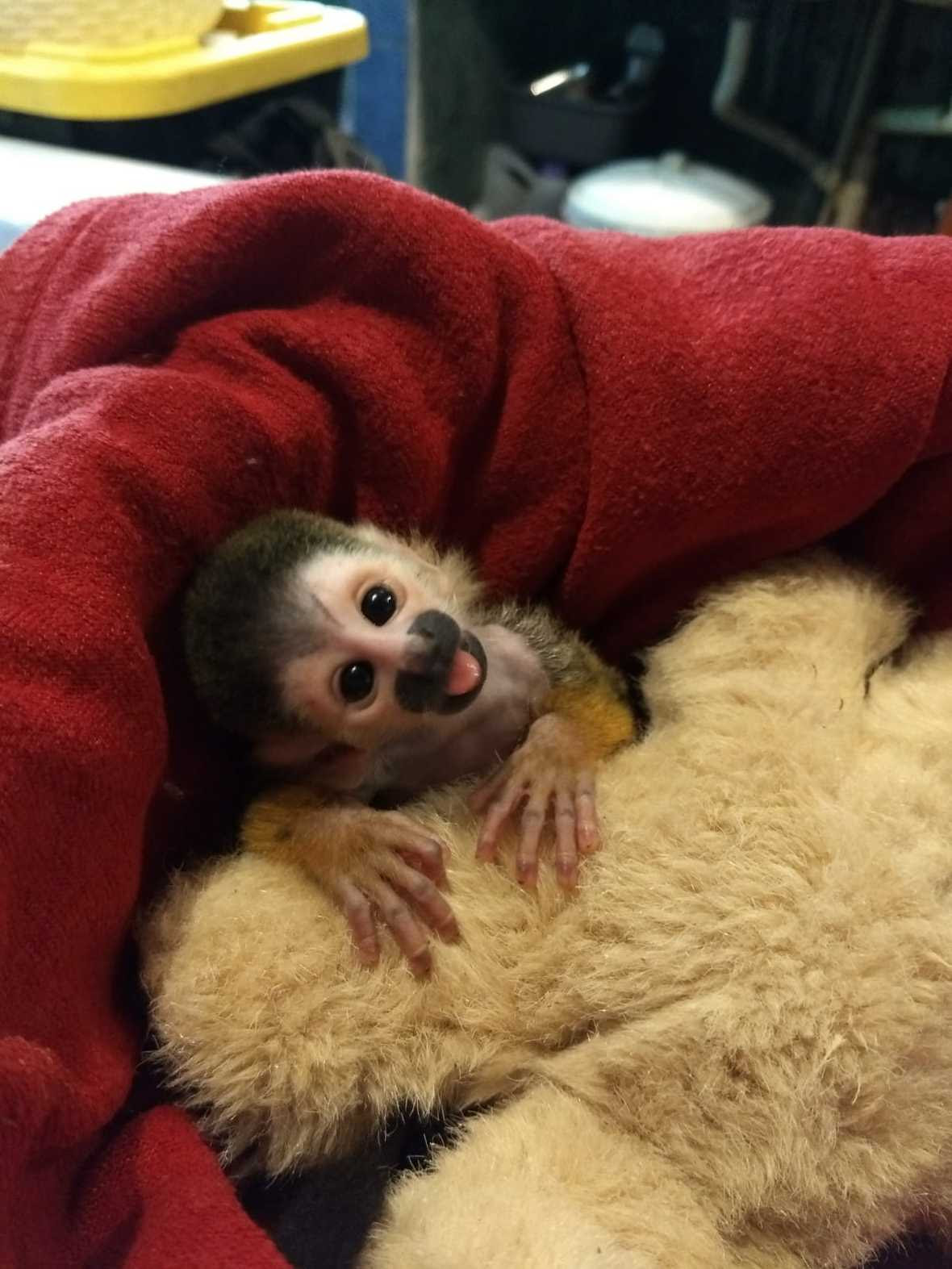 "Baby squirrel monkey peering into camera with mouth open in a ""smile"", wrapped in red blanket on stuffed animal"