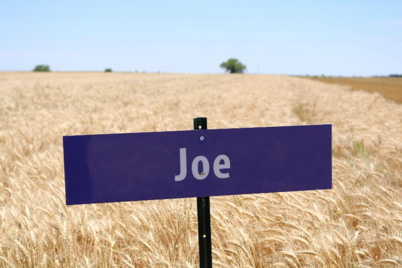 The variety Joe_ which was developed by the K-State breeding program_ has good milling quality and also carries a gene for resistance to Wheat Streak Mosaic Virus.