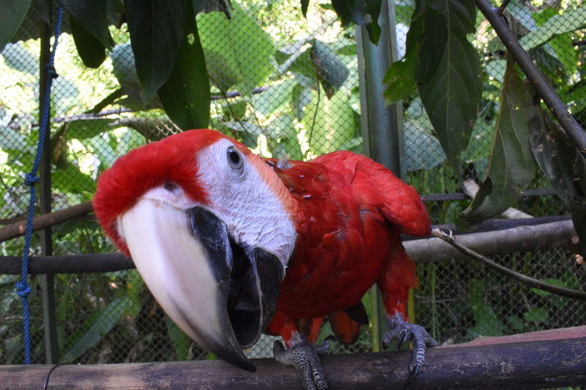 Young scarlet macaw peering into the camera
