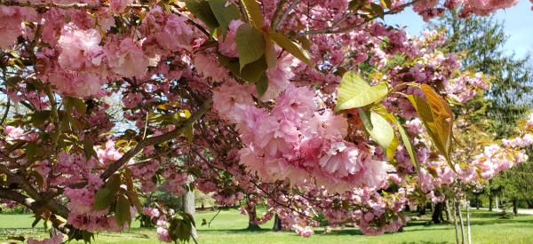 cherry blossoms close up.jpg