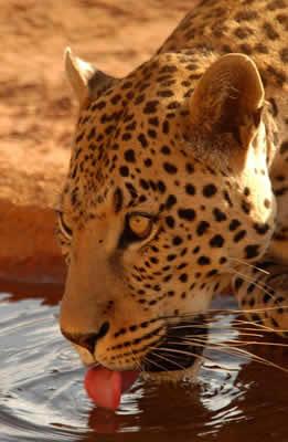 leopard-drinking-water.jpg