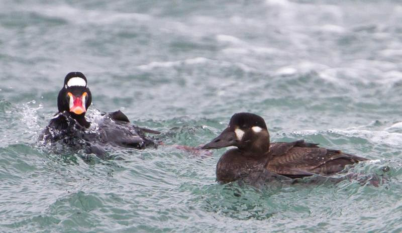 File:Surf Scoter-male and female-2.jpg
